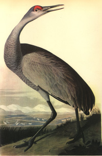 Loons And Turtles And Cranes Oh My >> Crane And Crane Spirits